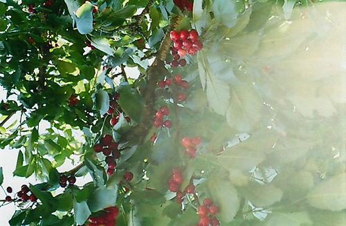 Cherrylight