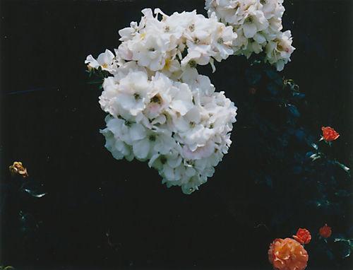 Rosesfuji