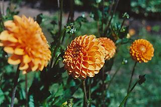 Dahli-orange