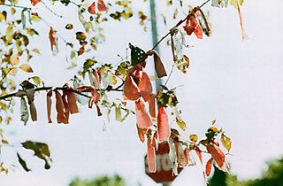 Peacetree1