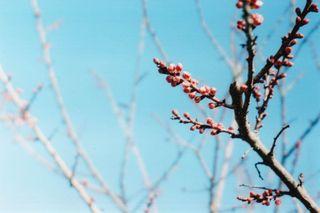 Blossombud
