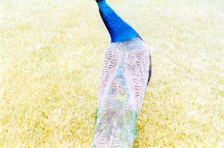 Peacockneck