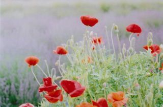 5-poppies