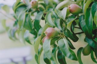13-pears