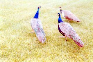 Peacocksrunning