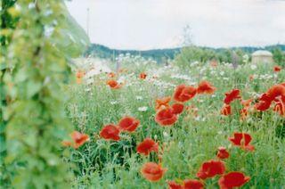 14-poppies