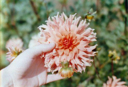 Flowerfarm6dahliaihand