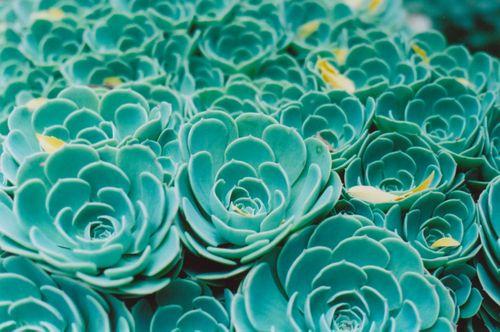 1succulentsatdianas