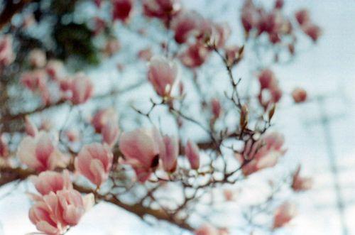 Tuliptree2