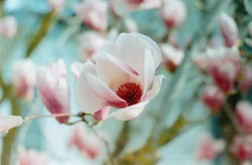Tuliptree4