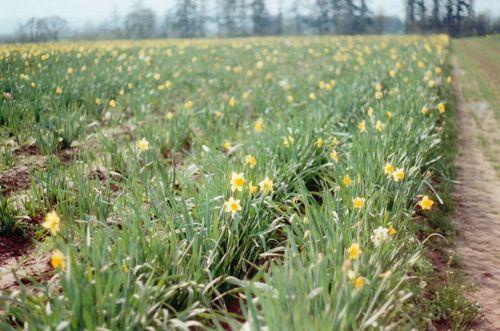 Daffodilscloser
