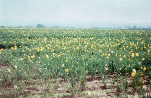 8daffodils