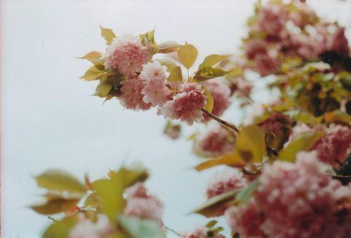 Floweringtree1