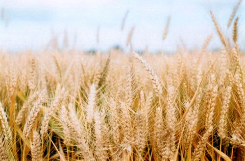 Wheatclose