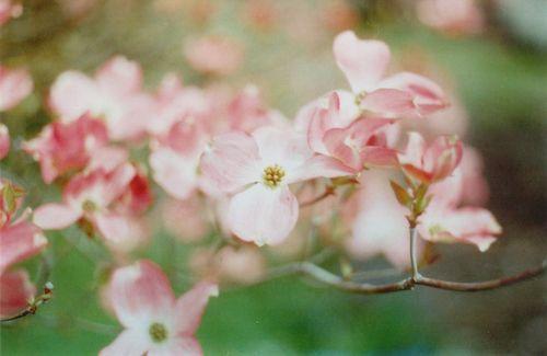 Floweringtree2