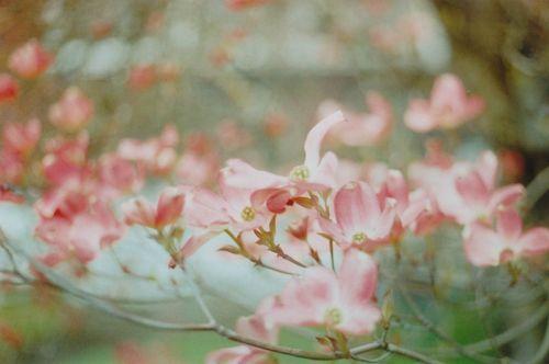 Floweringtree4