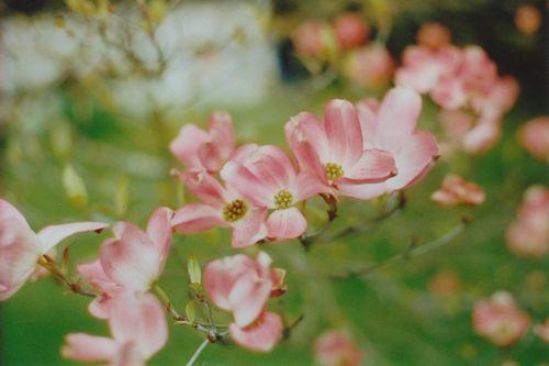 Floweringtree6