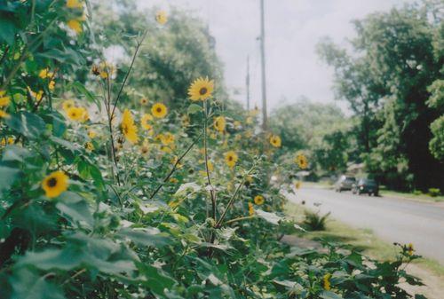 1sunflowers