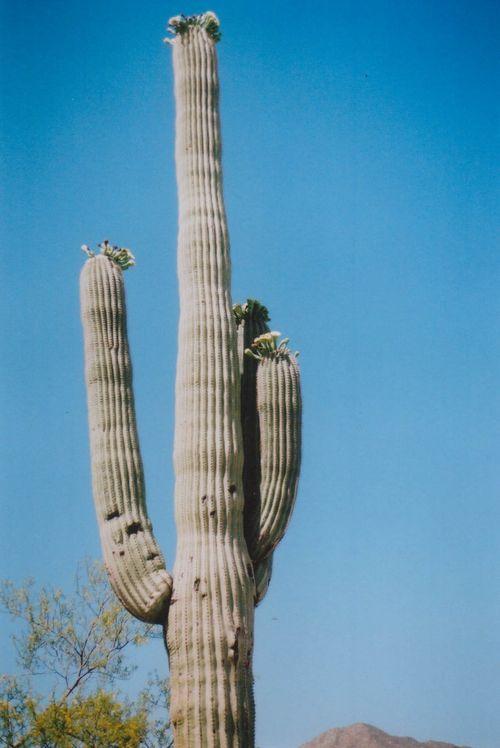 Desert6cactus