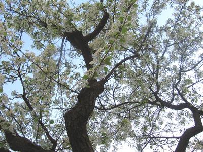 Blossoma