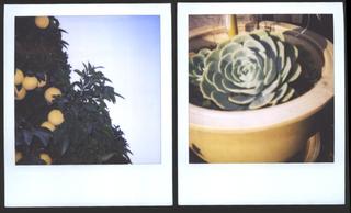 Grapefruitsucculent