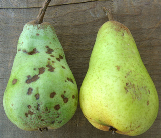 Rottingpears